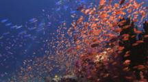 Huge Schools Of Lyretail Anthias, Pseudanthias Squamipinnis, And Yellow And Blueback Fusiliers, Caesio Teres