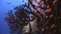 School Of Lyretail Anthias, Pseudanthias Squamipinnis, Shelter In Dendronephthya Soft Coral And Black Sun Coral, Tubastrea Micrantha