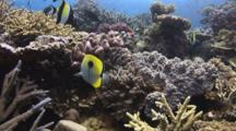 Teardrop Butterflyfish, Chaetodon Unimaculatus, And Moorish Idols, Zanclus Cornutus, Swimming Over Hard Coral Reef