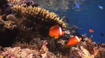 Fiji Barberi Clownfish, Amphiprion Barberi, On Coral Reef With Ocean Surface Behind