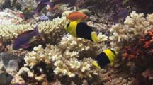 Pair Of Bicolor Angelfish, Centropyge Bicolor, Swimming Over Hard Coral Reef With Lyretail Anthias
