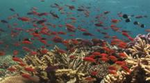 Colorful School Of Lyretail Anthias, Pseudanthias Squamipinnis, Over Pretty Hard Coral Reef