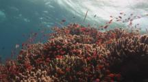 School Of Lyretail Anthias And Trumpetfish, Aulostomus Chinensis, Over Coral Reef Under Water Surface