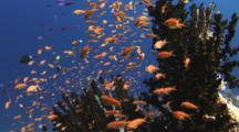 School Of Lyretail Anthias, Pseudanthias Squamipinnis, In Black Sun Coral, Tubastrea Micrantha