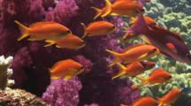 Colorful School Of Lyretail Anthias, Pseudanthias Squamipinnis, With Purple Dendronephthya Soft Corals (Carnation Coral)