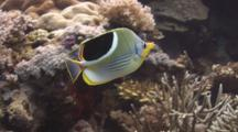 Pair Of Saddle Butterflyfish, Chaetodon Ephippium, Swimming Over Hard Coral Reef