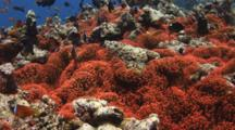 Fiji Barberi Clownfish, Amphiprion Barberi, In Huge Red Bubble-Tip Anemone, Entacmaea Quadricolor