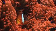 Fiji Barberi Clownfish, Amphiprion Barberi, Fends Off Domino Damsels (Threespot Dascyllus), Dascyllus Trimaculatus, In Red Bubble-Tip Anemone, Entacmaea Quadricolor
