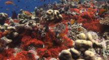 Fiji Barberi Clownfish, Amphiprion Barberi, Damsels And Anthias In Red Bubble-Tip Anemone, Entacmaea Quadricolor, On Coral Reef