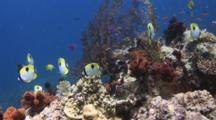 Teardrop Butterflyfish, Chaetodon Unimaculatus, Over Coral Reef