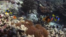 Fiji Barberi Clownfish, Amphiprion Barberi, Attacks Orange-Fin Anemonefish, Amphiprion Chrysopterus