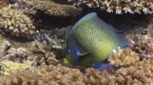 Semicircle Angelfish (Koran Angelfish), Pomacanthus Semicirculatus, Swims Over Hard Coral Reef