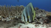 Orbicular Batfish, Platax Orbicularis, Rests Next To Staghorn Coral