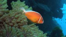 Pink Anemonefish (Pink Skunk Clownfish), Amphiprion Perideraion, Over Magnificent Sea Anemone, Heteractis Magnifica