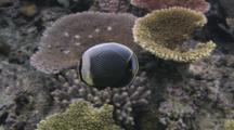 Reticulated Butterflyfish (Mailed Butterflyfish), Chaetodon Reticulatus, Swimming Past Table Corals