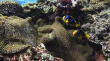 Pair Of Orange-Fin Anemonefish, Amphiprion Chrysopterus, In Merten's Carpet Anemone, Stichodactyla Mertensii