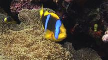 Large And Juvenile Orange-Fin Anemonefish, Amphiprion Chrysopterus, In Merten's Carpet Anemone, Stichodactyla Mertensii