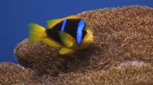 Orange-Fin Anemonefish, Amphiprion Chrysopterus, In Merten's Carpet Anemone, Stichodactyla Mertensii