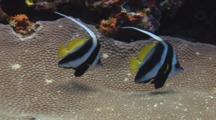 Pair Of Longfin Bannerfish (Pennant Coralfish), Heniochus Acuminatus Over Honeycomb Coral, Diploastrea Heliopora