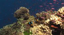 Pair Of Orange-Fin Anemonefish, Amphiprion Chrysopterus, And School Of Magenta Slender Anthias, Luzonichthys Waitei, On Coral Reef