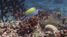 Pair Of Female Swallowtail Angelfish (Blackspot Angelfish), Genicanthus Melanospilos, Over Coral Reef
