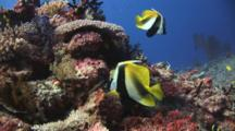 Pair Of Masked Bannerfish, Heniochus Monoceros, Over Coral Reef