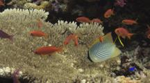 Chevron Butterflyfish (Chevroned Butterflyfish), Chaetodon Trifascialis, Feeding On Table Coral, With Lyretail Anthias