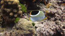 Saddle Butterflyfish, Chaetodon Ephippium, Swims Across Coral Reef