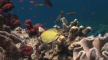 Speckled Butterflyfish, Chaetodon Citrinellus, Feeds On Cauliflower Coral, Pocillopora Sp.