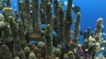 Blue-Green Chromis, Lyretail Anthias And Reticulated Dascyllus Hiding Amongst Column Staghorn Coral