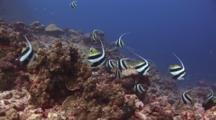Schooling Bannerfish, Heniochus Diphreutes, Amongst Hard Coral