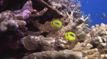 Pair Of Blueblotch Butterflyfish, Chaetodon Plebeius, And Pair Of Oval Butterflyfish, Chaetodon Lunulatus, Swimming Through Hard Corals