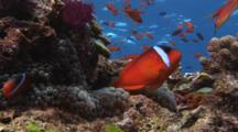 Pair Of Fiji Barberi Clownfish, Amphiprion Barberi, In Sea Anemone With Water Surface Behind
