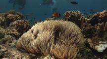 Pair Of Fiji Barberi Clownfish, Amphiprion Barberi, In Long-Tentacled Sea Anemone