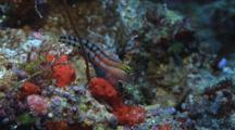 Fiji Clown Blenny, Ecsenius Fijiensis