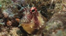Triplespot Blenny (One Spot Blenny), Crossosalarias Macrospilus, In Its Hole In The Reef