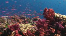 Colorful School Of Magenta Slender Anthias, Luzonichthys Waitei, Over Pretty Coral Reef