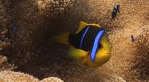 Orange-Fin Anemonefish, Amphiprion Chrysopterus, And Juvenile Domino Damsels (Threespot Dascyllus), Dascyllus Trimaculatus, In Merten's Carpet Anemone, Stichodactyla Mertensii