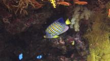 Regal Angelfish (Royal Angelfish), Pygoplites Diacanthus, Shelters Under Reef