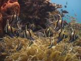 Banggai Cardinalfish, Pterapogon Kauderni, In Sea Anemone