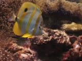 Copperband Butterflyfish (Beaked Coralfish), Chelmon Rostratus, Feeding On Coral Reef