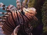 Red Lionfish (Pterois Volitans) Or Devil Firefish (Pterois Miles) Hovers Next To Sea Anemones