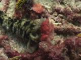Spotted Worm Sea Cucumber (Medusa Worm), Synapta Maculata, Feeding On Algae-Covered Dead Staghorn Coral