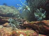 Three Red Lionfish (Pterois Volitans) Or Devil Firefish (Pterois Miles) Over Rocky Reef Spread Their Spines