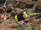 Bicolor Angelfish, Centropyge Bicolor, And Juvenile Ribboned Sweetlips, Plectorhinchus Polytaenia, Feeding On Rocky Reef