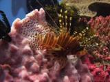 Spotfin Lionfish, Pterois Antennata, Resting On Coral Reef