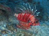 Frillfin Turkeyfish (African Lionfish), Pterois Mombasae, Swims Across Sandy Seabed