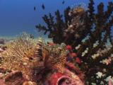 Frillfin Turkeyfish (African Lionfish), Pterois Mombasae, On Coral Reef With Black Sun Coral, Tubastrea Micrantha