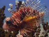 Frillfin Turkeyfish (African Lionfish), Pterois Mombasae, On Black Sun Coral, Tubastrea Micrantha