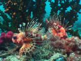 Frillfin Turkeyfish (African Lionfish), Pterois Mombasae, In Front Of Black Sun Coral, Tubastrea Micrantha